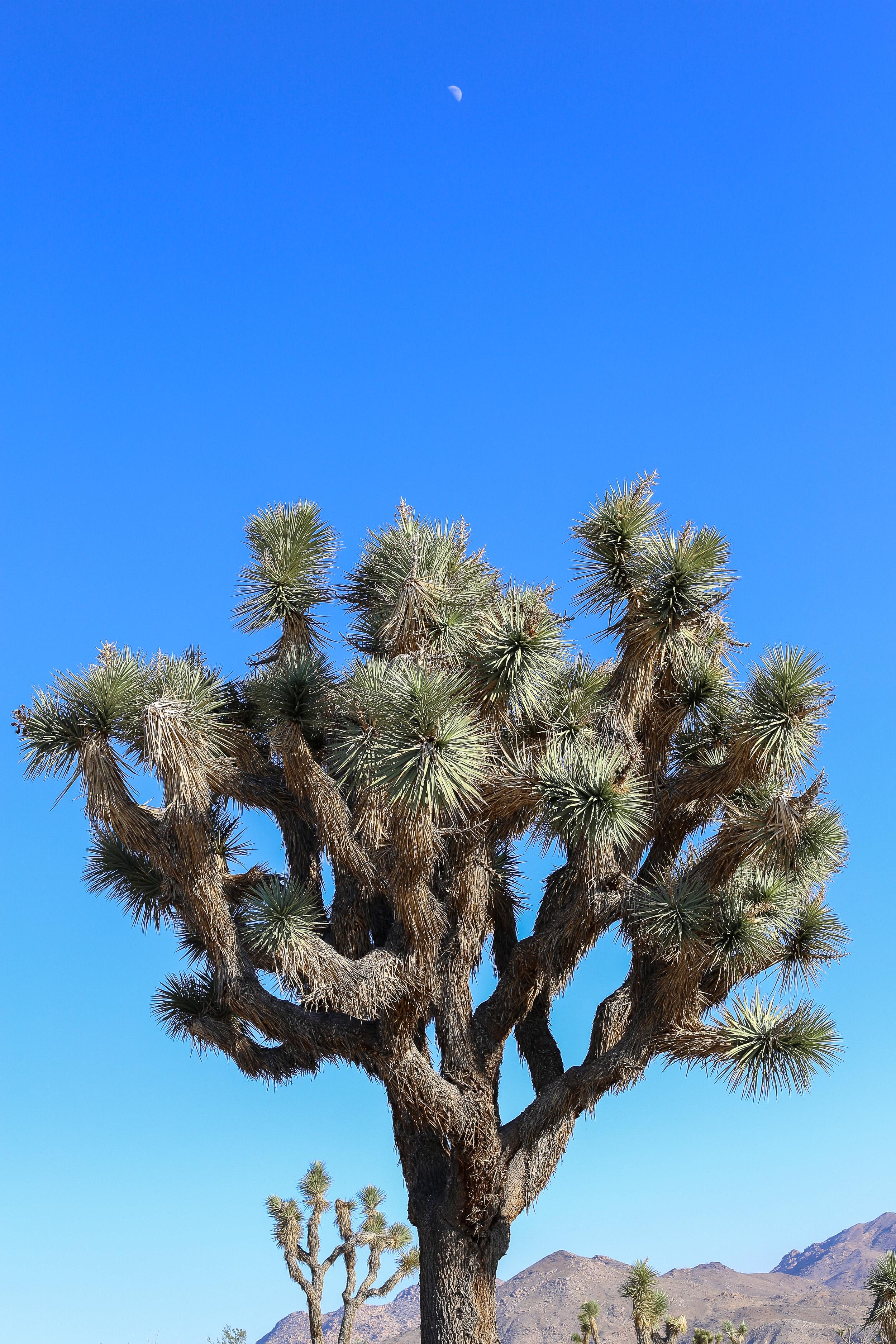 joshua_tree-8